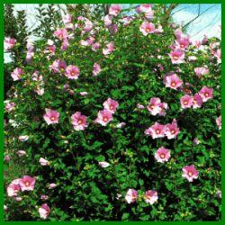 Der Roseneibisch ist ein Tropenkind und braucht in unseren Breiten einen möglichst sonnigen und geschützten Platz, wie vor einer sonnenbeschienenen Mauer