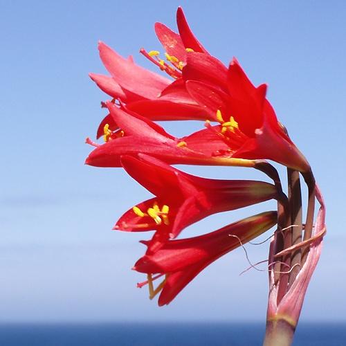 Desierto Florido: Añañucas Rojas (Chile)