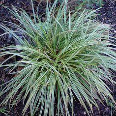 Bunte-Japan-Segge - Carex morrowii 'Variegata' Die Bunte-Japan-Segge trägt eine helle Zeichnung an den Blatträndern und ist eine sehr beliebte Gartenpflanze für halbschattige bis schattige Lagen. Carex morrowii 'Variegata' ist zudem...