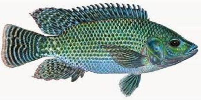 Ikan Mujair adalah sejenis ikan air konsumsi tawar yang penyebaran alami ikan ini adalah perairan Afrika dan di Indonesia pertama kali...