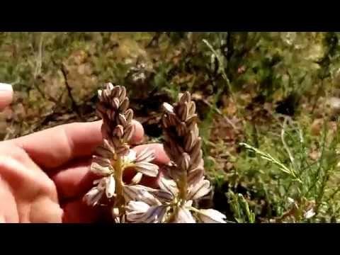 Drimia filifolia in habitat in flower