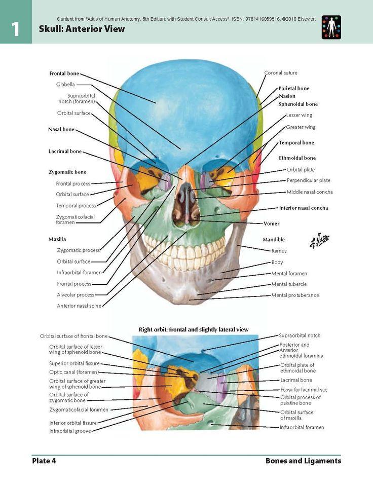 15 besten Anatomy Bilder auf Pinterest | Massage-Therapie, Blau und ...