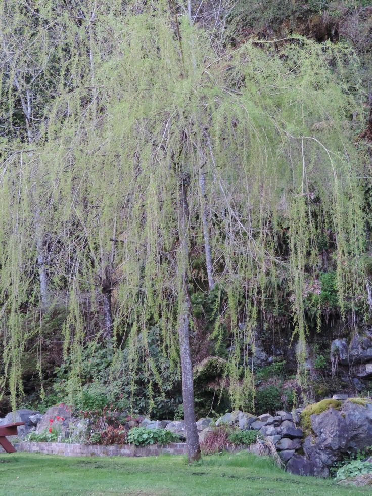 Weeping willow...Victoria Garden Gate Manor