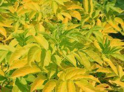 Kanadischer Gold-Holunder 'Aurea' - Sambucus canadensis 'Aurea' - Baumschule Horstmann