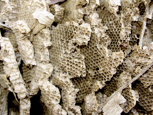 how to move a paper wasp nest