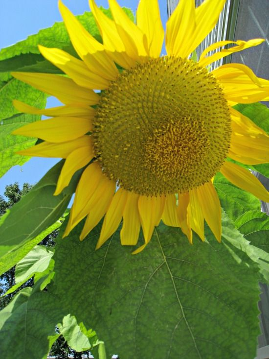 """Plant """"Mammoth"""" sunflower seeds for beautiful, large and TALL sunflowers in your garden!"""