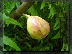 Descubre por qué la higuera es un árbol que debes tener