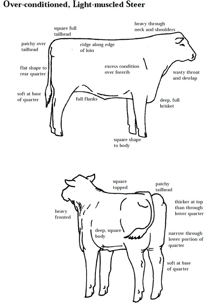 Learning to judge 4-H Livestock Judging Programs: How to Judge Beef