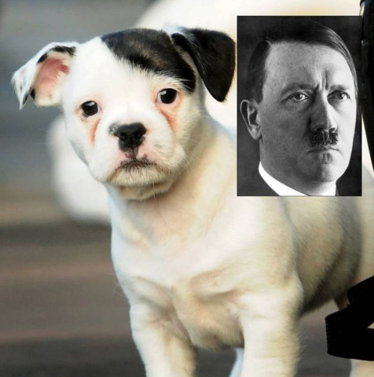 Meet Patch - the puppy who looks like Adolf Hitler.
