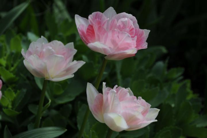 Tulipa Angelique Arthur Road Landscapes