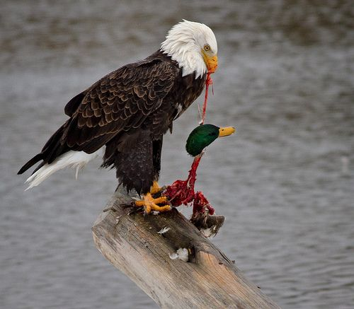 Bald eagle rips mallard's head : natureismetal