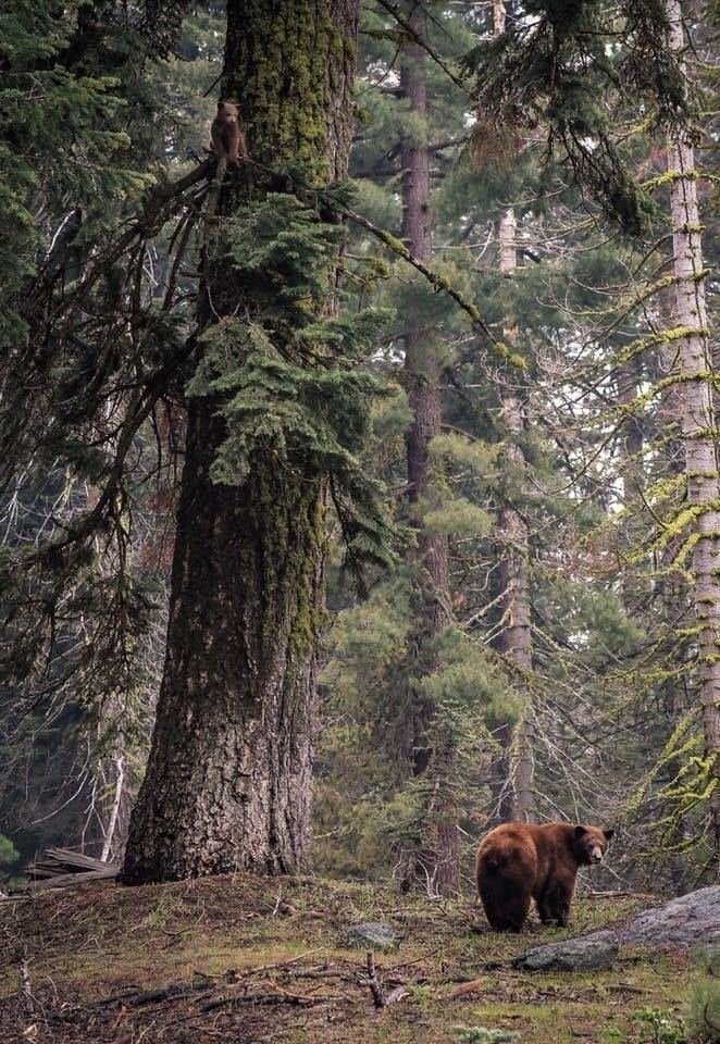 Another perspective... The bear is huge... The tree massive... The forest all encompassing...