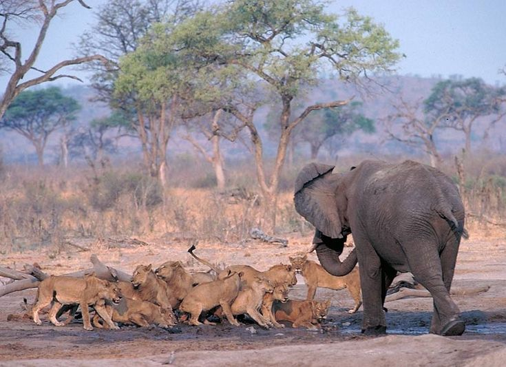 Scrapping over water rights. Up in Botswana's Savuti lions no longer fear elephants and there are some prides that specialise in hunting elephants.