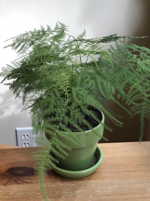 Easy to Grow Houseplant Fern Leaf Plumosus Asparagus Fern Live Plant 2.5 Pot