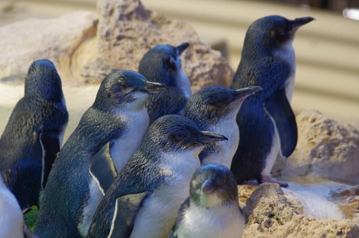 Maria Island Penguins, Tasmania, Australia,| TripTide