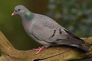Holenduif / Stock Dove