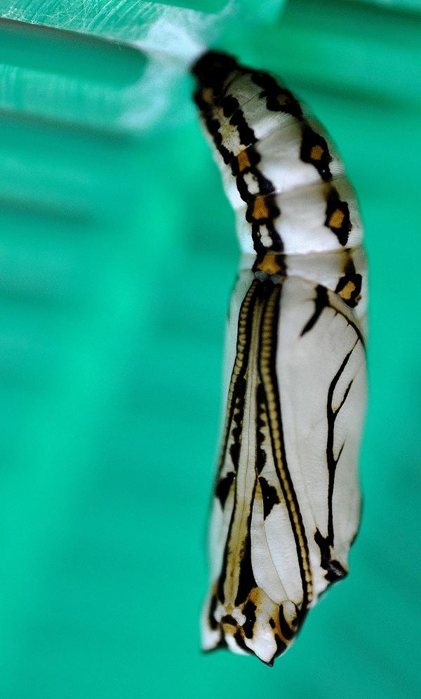 Glasswing butterfly chrysalis