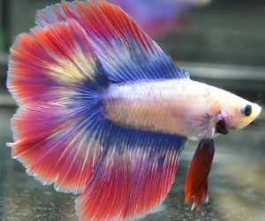 Butterfly Betta fish for Sale - BettaFishforSale.org