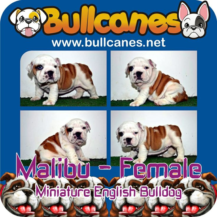 MALIBU - Female Miniature English Bulldog Puppy For Sale http://www.bullcanes.net / ceo@bullcanes.net / Facebook: bullcanes1@hotmail.com / instagram: @BULLCANES Bulldog puppies for Sale / Twiter: bullcanes1 / YouTube: Bullcanes Bulldog Kennel