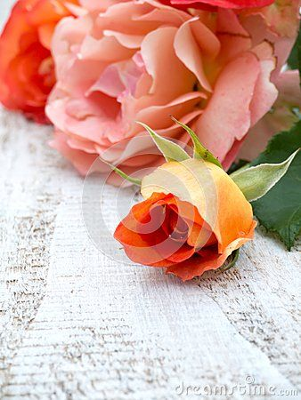 Orange roses and bud on the white painted rustic background