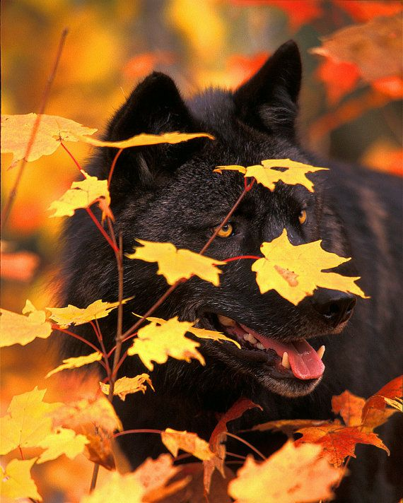 Gray Timber Wolf Black Phase In Autumn Leaves 8x10 by NatureIsArt, $25.00