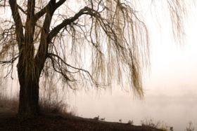 Weeping willow with misty lake - stock photo