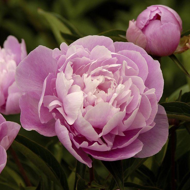 Paeonia lactiflora Alexander Fleming | Wyevale Garden Centres