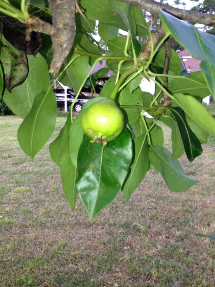 5/19/2014 Picture of pear on pear tree.