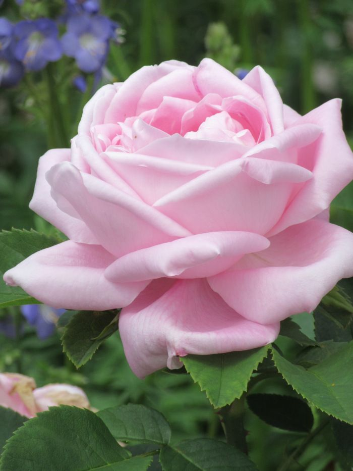 A pilgrimage to these gardens, for which, so far as the roses are concerned, we have Graham Stuart Thomas to thank principally and for the last 40+ years, the National Trust for preserving and enha…