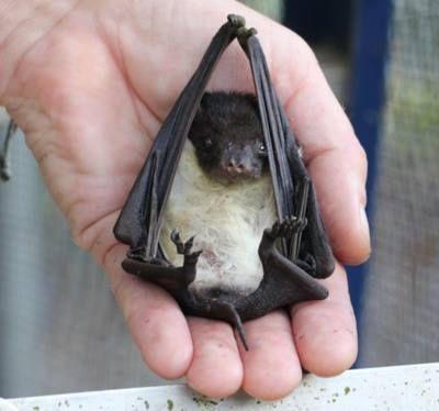 #baby #cute #bat!