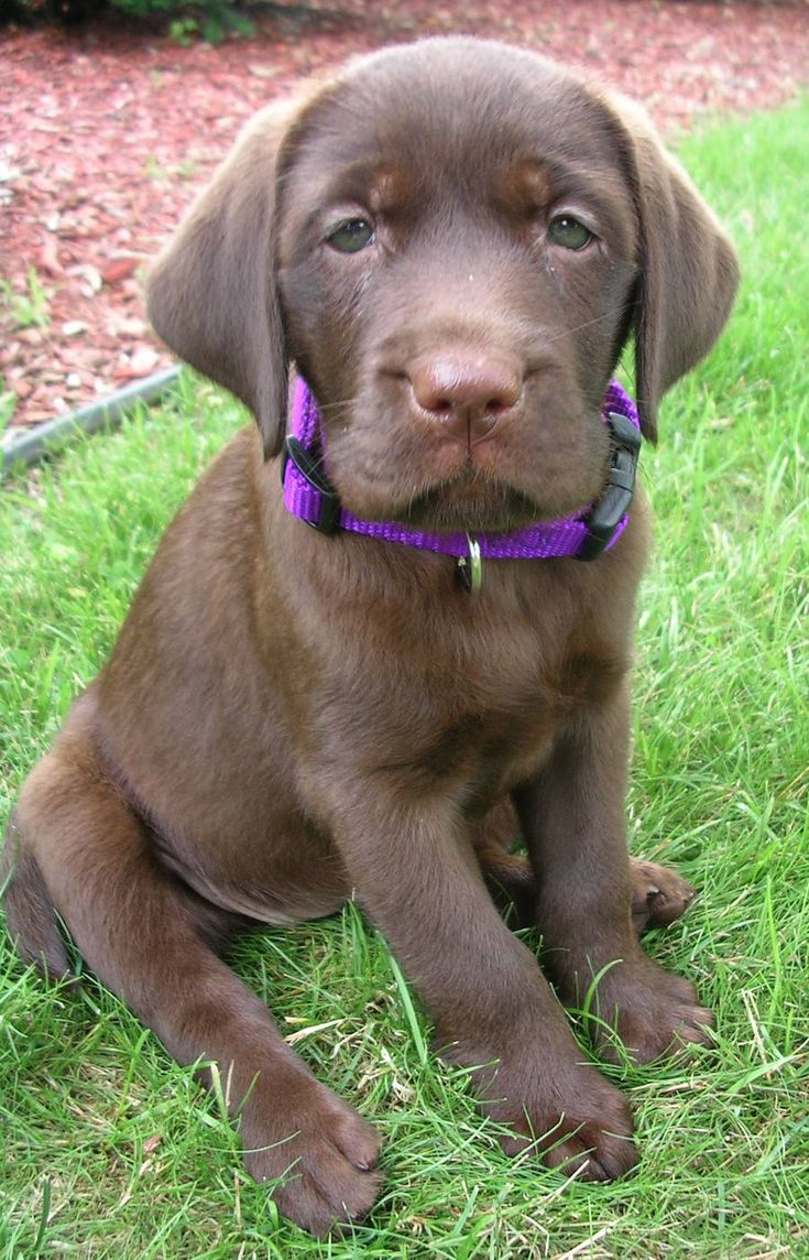 15 best Chocolate Lab Lovers Rejoice! images on Pinterest ...