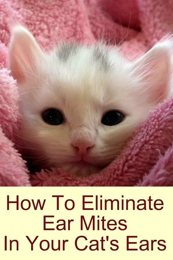 How to eliminate ear mites in your cat's ears. #earmites #diy #cats