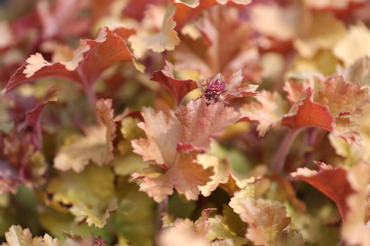 We love Heucheras, in particular the colouration of Heuchera Marmalade. (While we keep a fantastic range of plants in stock 12 months of the year, we would advice giving us a ring if you are looking for a specific plant, call us now on 01924 276446)