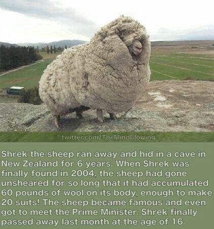 Shrek the sheep.