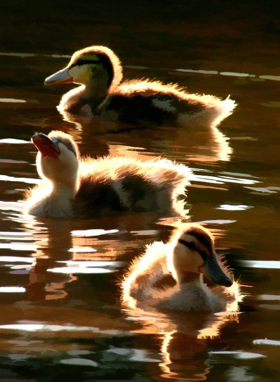 Buzzed ducklings - Photograph at BetterPhoto.com