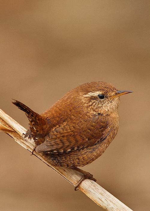 Wren - photo by Izzy Standbridge