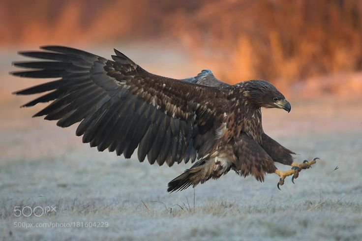 White-tailed eagle by Zbikuj via http://ift.tt/2eNYoWn