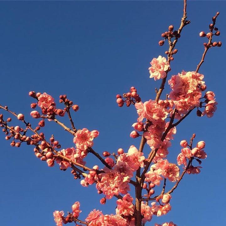 flowering cherry tree bark crack vt