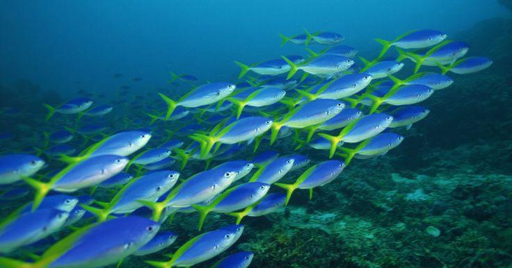 Rol del zooplancton en la cadena trófica marina. El plancton flota en los océanos abiertos y conforma la base de la cadena trófica acuática. El zooplancton consiste en el componente animal del plancton. Esta vida animal marina flotante incluye pequeños crustáceos, medusas, gusanos y otros invertebrados, protozoos, y los huevos y larvas de peces y de muchos otros organismos. El zooplancton juega ...