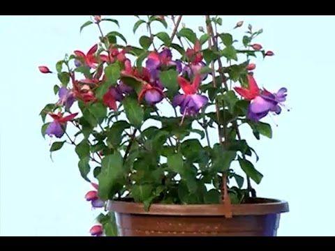 Çiçek Tanıtımı - Küpeli Çiçeği Bakımı ve Yetiştirmesi - YouTube