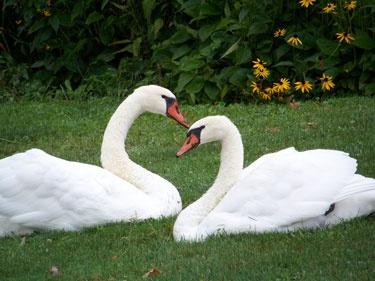 #Celtic Animal Symbols Based on the Ogham-Swan Meaning and Symbolism