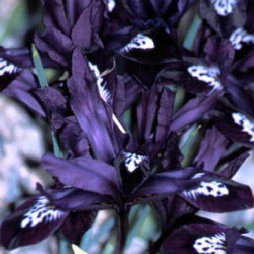 Die besten 25+ Iris bulbs for sale Ideen auf Pinterest Iris