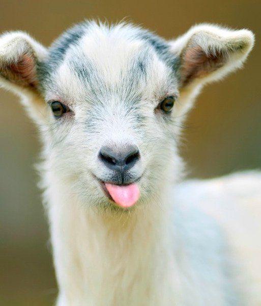 12 Adorable Baby Goats - Pets Tips & Advice | mom.me