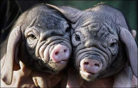 Lil baby Meishan pigs. i-3-ugly-animals