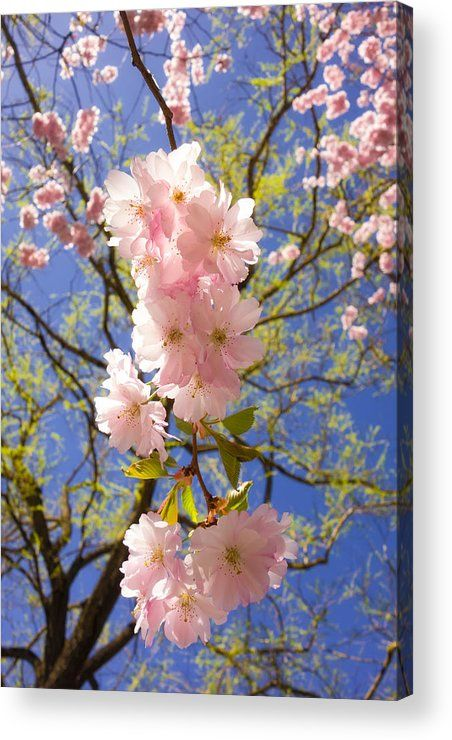 Pink Cherry Blossom in spring Acrylic Print for sale. The image gets printed directly onto the back of a sheet of clear acrylic. The image is the art - it doesn't get any cleaner than that! Click through and check out your options. Matthias Hauser - Art for your Home Decor and Interior Design.