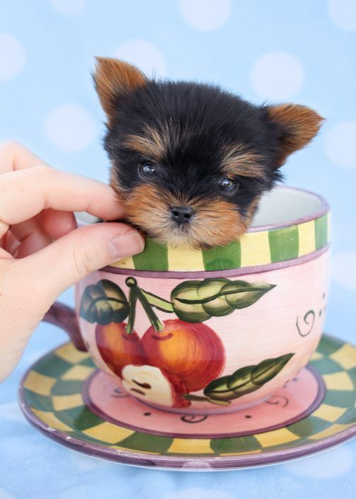 Micro Teacup Yorkie Puppy by TeaCups, Puppies & Boutique