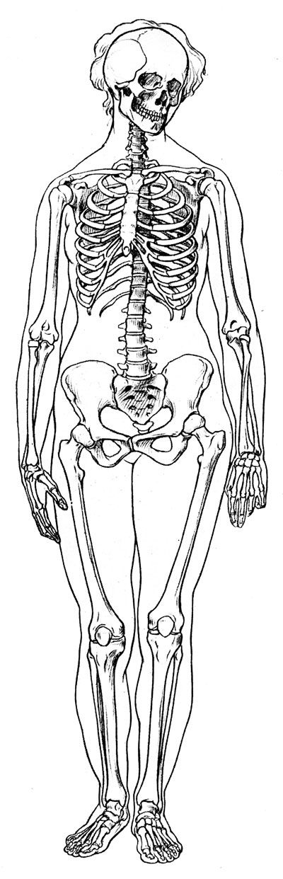 Labeled Skeleton - Front View of Female Skeleton