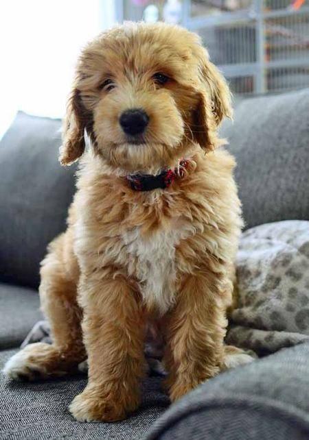 Toby is a golden retriever, Australian shepherd, poodle mix.