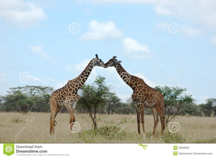 een giraffen poort