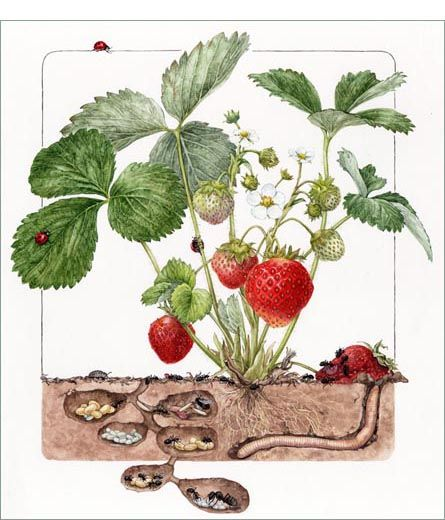 Strawberry with lady bugs, ants, an earth worm, and a pill bug asuka hishiki 13 1/2 x 10 1/2 -- Watercolor on paper